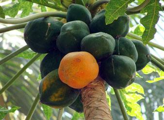 Papaya Sorte unbekannt