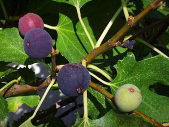 Feigen-Fruchtstand