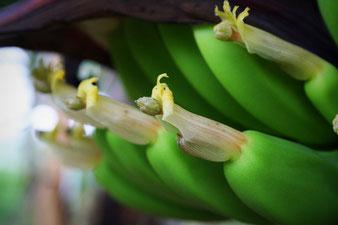 junge Bananen im Tropenhaus am Rennsteig