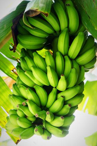 Bananen-Büschel