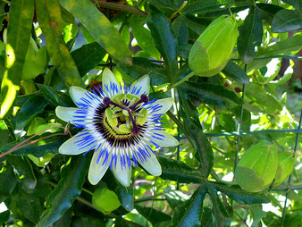 Maracuja-Blüte / Sorte unbekannt