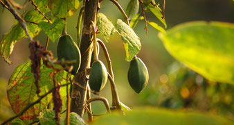 Fruchtstand Wildwuchs