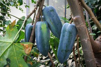 Babaco Fruchtstand