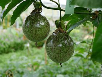 Passiflora edulis Früchte / Tropenhaus am Rennsteig