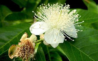 Guaven-Blüte im Tropenhaus am Rennsteig