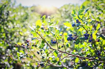 Heidelbeeren-Fruchtstand