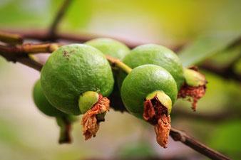 befruchtete Guaven-Blüten