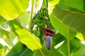 Bananen-Blüte und Fruchtbüschel