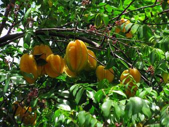 Sternfrüchte auf der Plantage