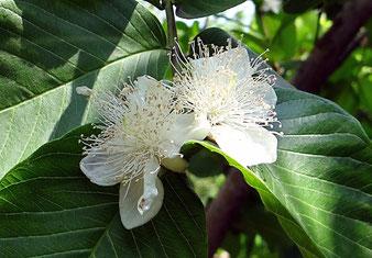 Guaven-Blüte
