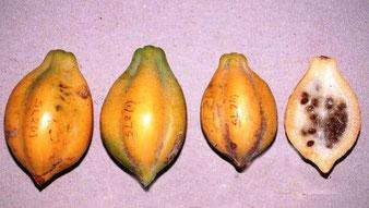 Bergpapaya (Bildquelle fruitpedia)