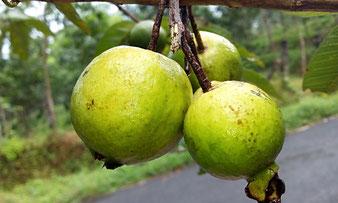 Guaven-Fruchtstand