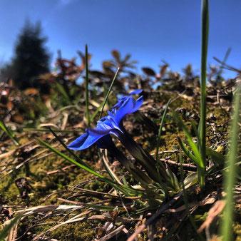 Frühlings-Enzian