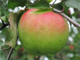 купить саженцы яблони северный синап