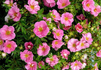 Pink Queen лапчатка розовая