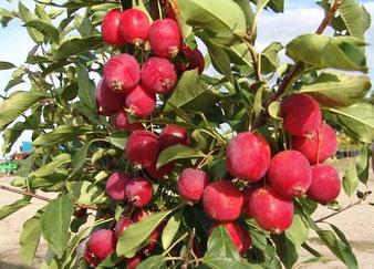 где купить деревья яблонь в Клину?
