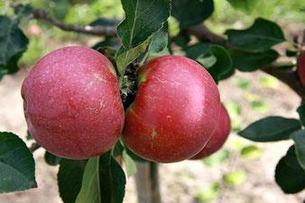 купить саженцы яблонь в питомнике растений в Клину,деревня Елино