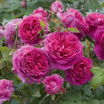 продажа полуплетистых роз Эден Роуз
