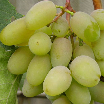 саженцы винограда Баклановский