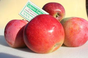 купить саженцы яблонь в Клину