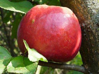 зимостойкие сорта и саженцы яблонь в Клину