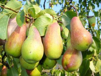купить в Клину грушу дерево
