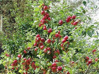 зимостойкие яблони в подмосковье,яблони,плодовые деревья и кустарники