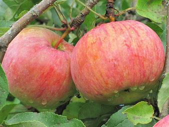 купить саженцы яблони Россошанское Полосатое