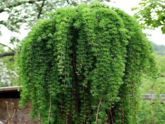 лиственница плакучая саженцы в клину