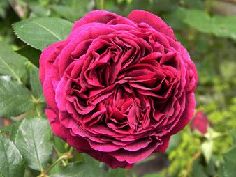пионовидная роза Фальстафф