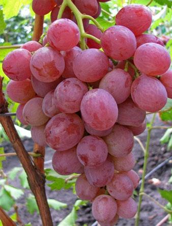 виноград,сорта Ани
