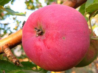 купить в питомнике зимостойкие яблони недорого