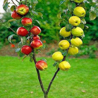 дерево сад