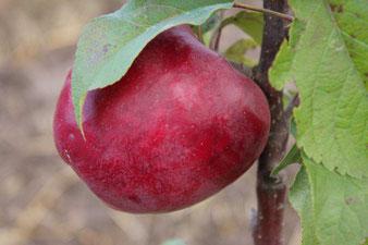саженцы яблони сорт Лобо