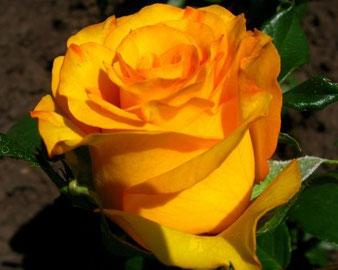 Роза Керио сорт