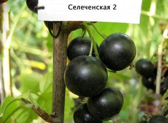 смородина Селеченская 2