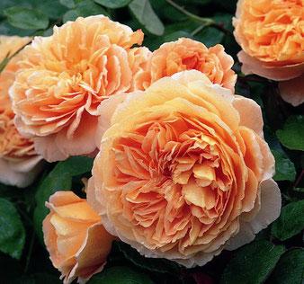 роза пионовидная Краун Принцесс Маргарет