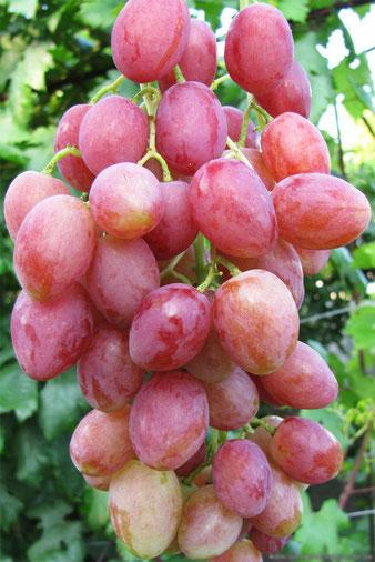 виноград сорт Розалинда