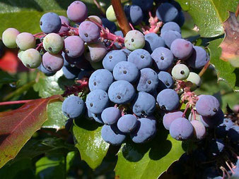 ягоды магонии падуболистной