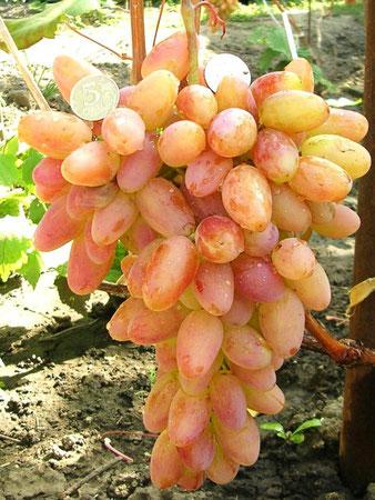 Купить виноград Юбилей Новочеркасска