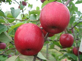 купить яблони в Клину