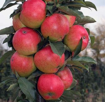 сорт яблони колоновидной Валюта