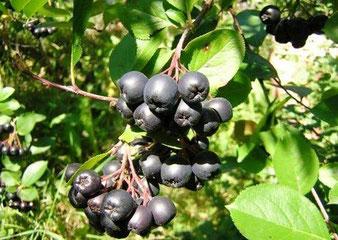 арония черноплодная,садовый питомник,купить