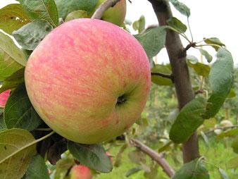 Саженцы яблони Боровинка