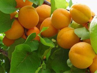 купить абрикос в питомнике Клин