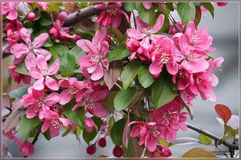 розовоцветущее Райское яблочко саженцы