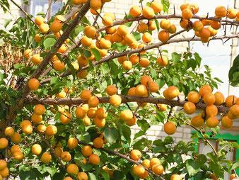 абрикос погремок в клину