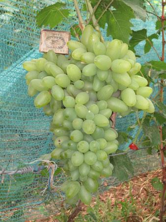 сорт винограда Темерник в Клину