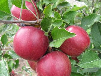 купить колоновидную яблоню в Клину