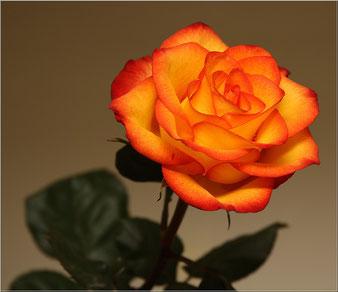 саженцы розы Солнышко в клину